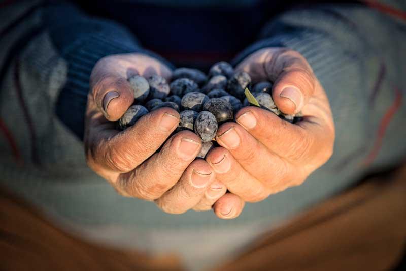 Yırca'da termik santral gölgesinde tarım: Tütünden zeytine, zeytinden nereye?